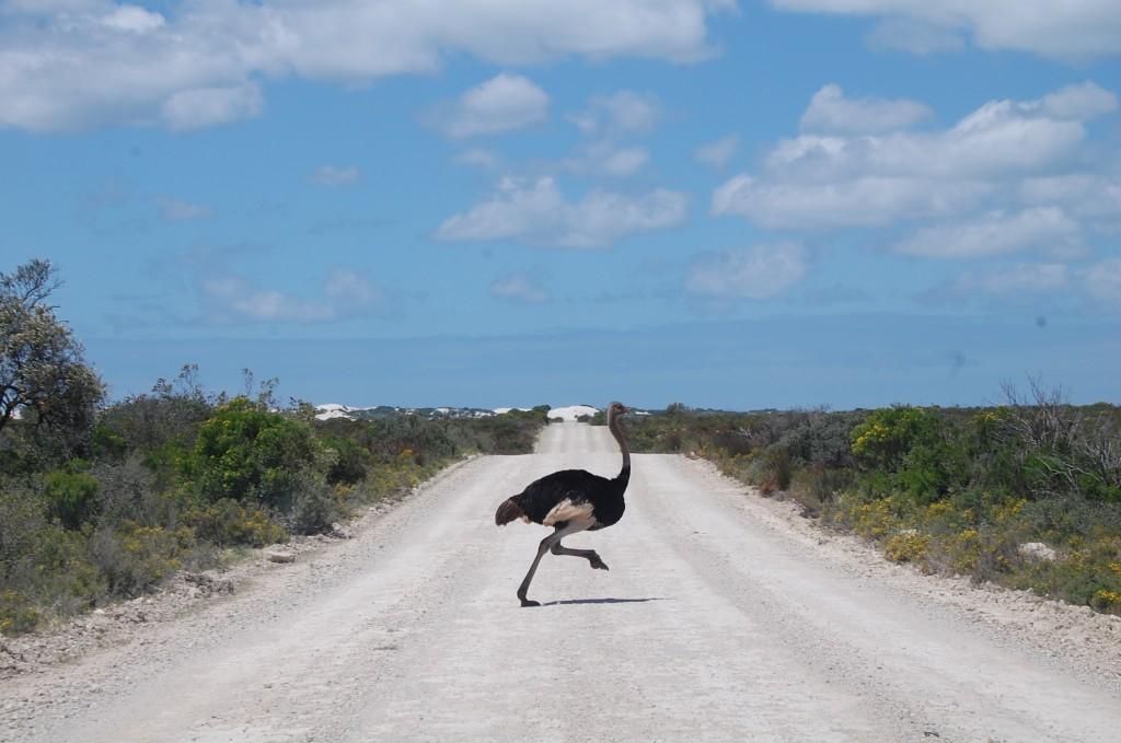 страус ЮАР