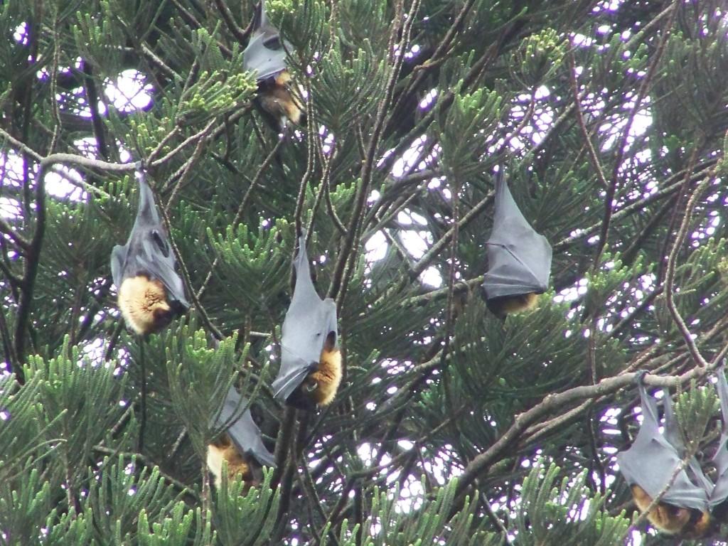 Летучие лисицы в Ботаническом саду Канди